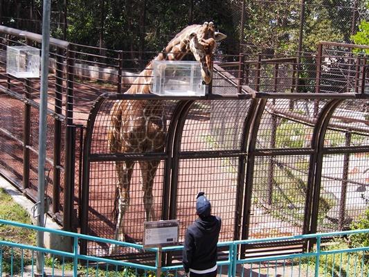 野毛山動物園 キリン