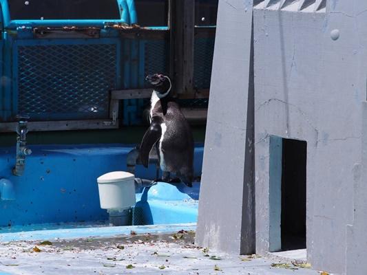 野毛山動物園ペンギン